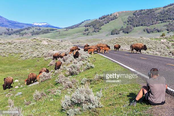 USA, Yellowstone National Park, Bisons crossing road