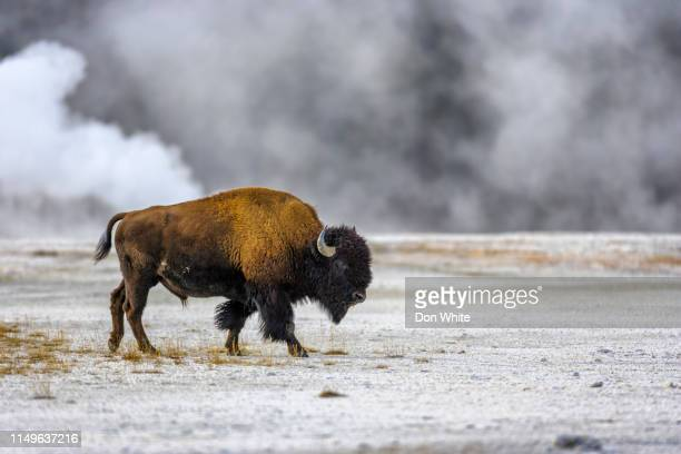 yellowstone national park in wyoming - buffalo stock pictures, royalty-free photos & images