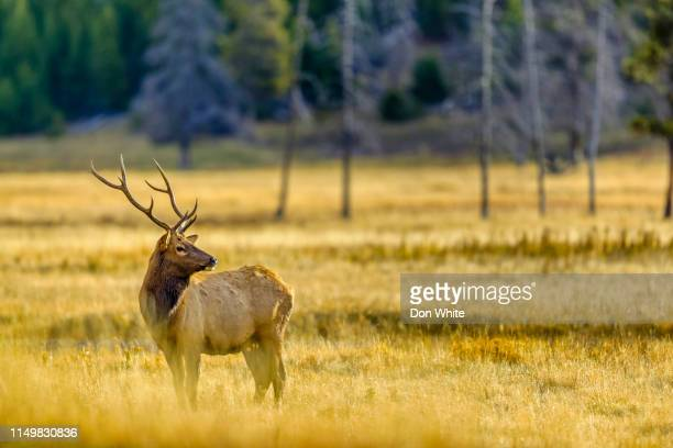 yellowstone national park in wyoming - bull animal stock pictures, royalty-free photos & images