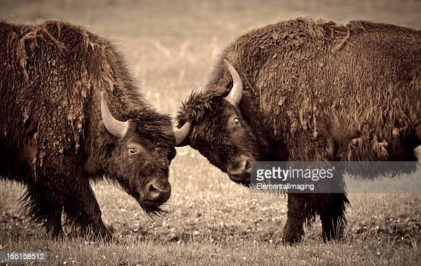 Yellowstone National Park Two Young Bison Fighting