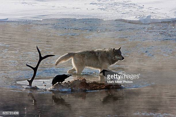 usa, yellowstone national park, wild wolf - dead raven stock photos and pictures