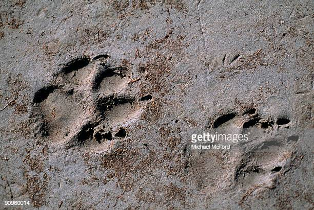 two paw prints in the mud. - michael wolf stock photos and pictures