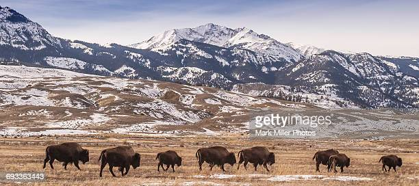 USA, Yellowstone National Park,Bison Migrating Out