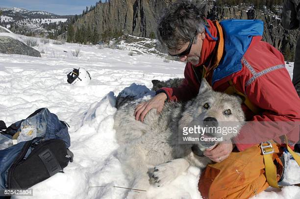 Yellowstone Wolf Project leader Doug Smith checks the alpha male of the Leopold Pack after fitting a radio collar Wolf biologists with the...