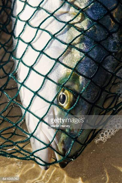 Yellowtail amberjack caught in drag net