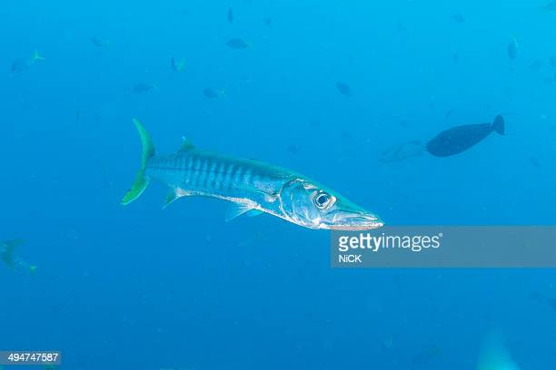 yellowtail barracuda sphyraena flavicauda - barracuda foto e immagini stock