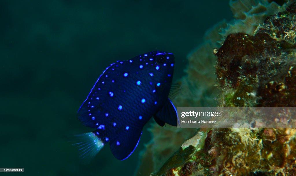 Yellowtail Damselfish. : Stock Photo
