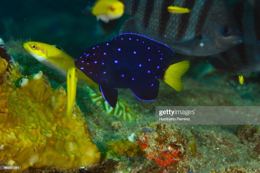 Yellowtail Damselfish. : Stock-Foto