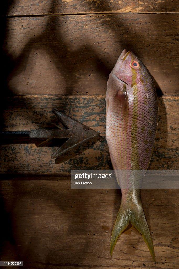 Yellowtail Snapper : Stock Photo