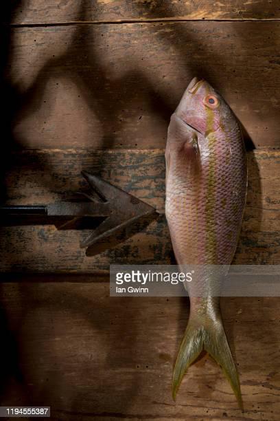 yellowtail snapper - ian gwinn stock-fotos und bilder