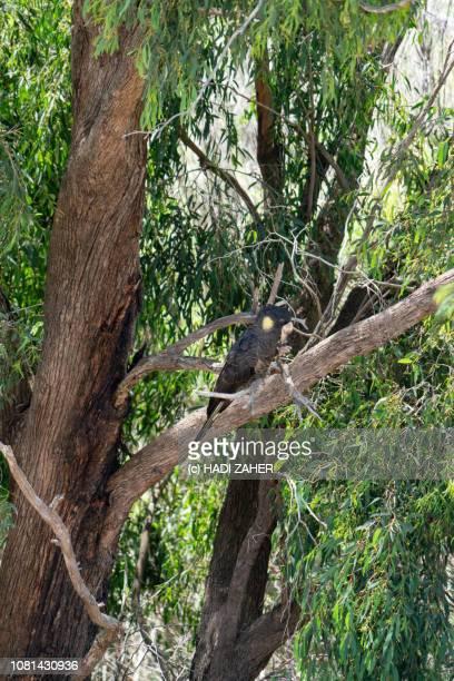 A Yellow-tailed black cockatoo resting on a tree | Regional Victoria | Australia