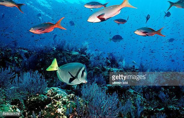 Yellowtailed surgeonfish and coral reef, Prionurus laticlavius, Mexico, Sea of Cortez, Baja California, La Paz