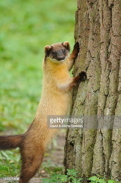 Yellow-throated Marten (Martes flavigula) standing at tree trunk