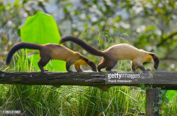 yellow-throated marten walking on a tree to find food in the rainforest in northern thailand - rainy season stock pictures, royalty-free photos & images