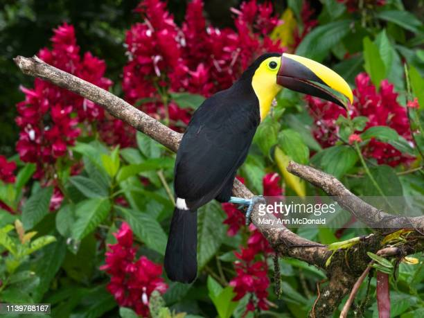 yellow-throated toucan - black mandibled toucan stock photos and pictures