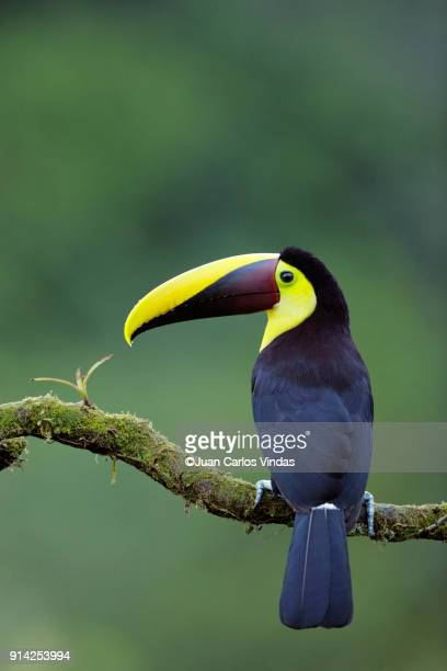 yellow-throated toucan - toucan stock photos and pictures