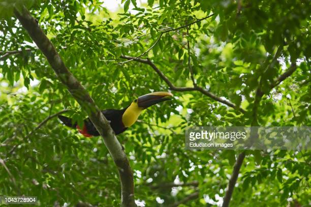Yellowthroated Toucan Ramphastos ambiguus Canopy Camp in the Darien Panama