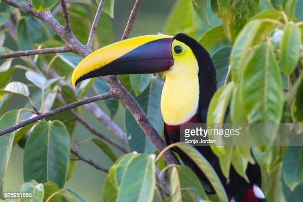 yellow-throated toucan (ramphastos ambiguus) sitting in tree, rainforest, boca tapada, costa rica - black mandibled toucan stock photos and pictures
