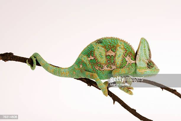Yemen chameleon sitting on branch against white background, side view