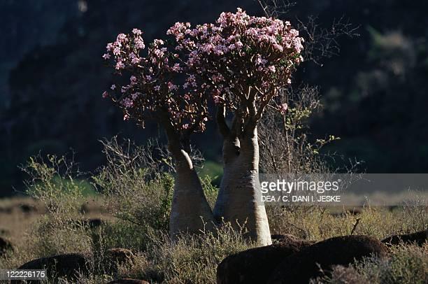 Yemen Socotra Island Monti Haggier Desert rose endemic vegetation