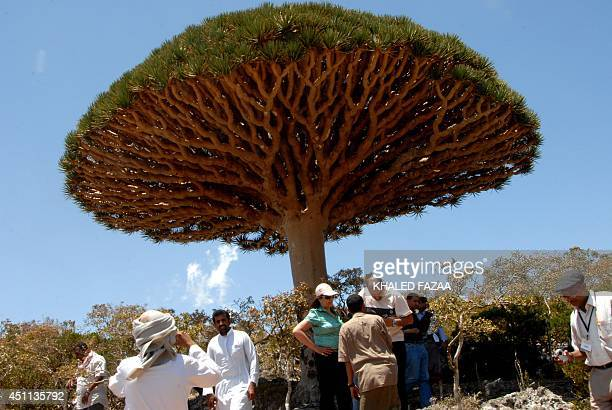 Yemeni and foreign tourists gather to admire an example of the Dragon Blood tree on the virtually untouched Yemeni Island of Socotra a site of global...