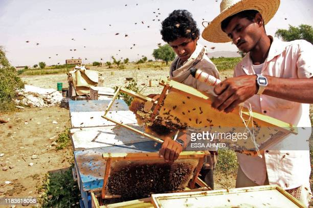 Yemeni beekeepers collect honeycombs at their apiary in the country's northern Hajjah province on November 10, 2019. - The conflict between the...