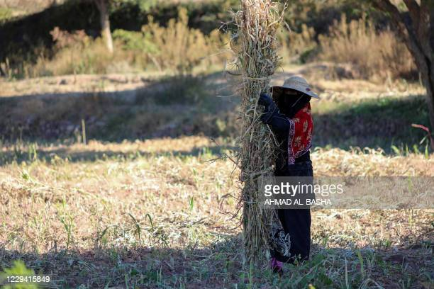 Yemeni farmer harvests wheat in a field near their village on the outskirt of Yemen's third city of Taez on November 2, 2020.