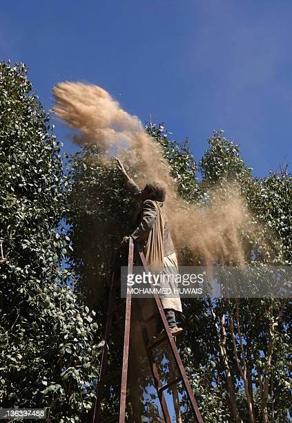 A Yemeni farmer sprays sand on qat trees in a field on the outskirts of the Yemeni capital Sanaa on January 2 2012 in a traditional organic method of...