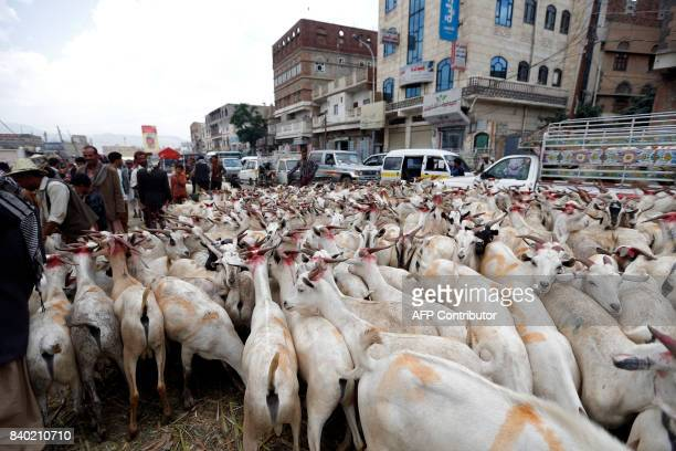 Yemeni men walk past goats at a livestock market in the capital Sanaa on August 28 in preparation for the Eid alAdha celebrations / AFP PHOTO