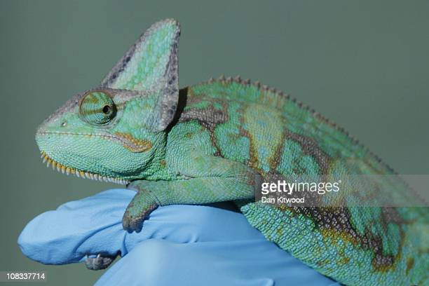 Yemens Chameleon is pictured at Heathrow Airport's Animal Reception Centre on January 25 2011 in London England Many animals pass through the...