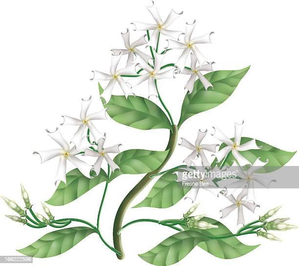 Yen Vang color illustration of star jasmine blossoms