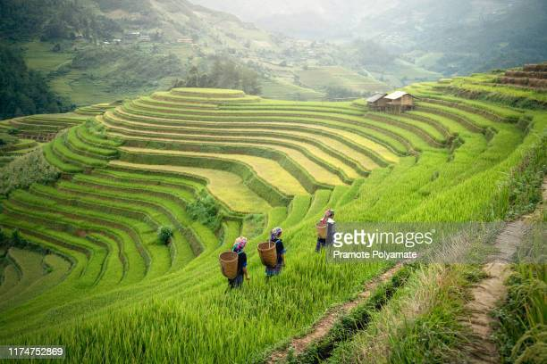 yenbai mu cang chai, hmong in the terraced rice field near sapa, yenbai mu cang chai in the rainy season north vietnam - ミャオ族 ストックフォトと画像
