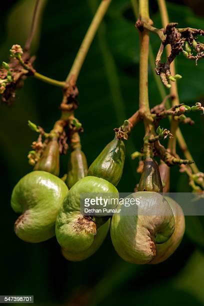 Yender cashew nuts