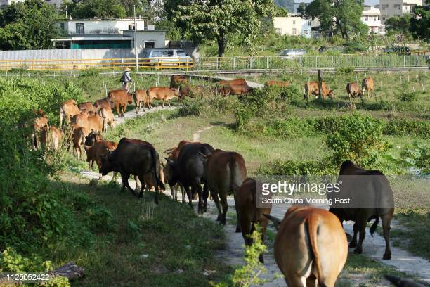 Yeung Yeung who running home for 80 abandoned cows is being evicted and has applied for government land to set up educational farm in Mai Po marshes...