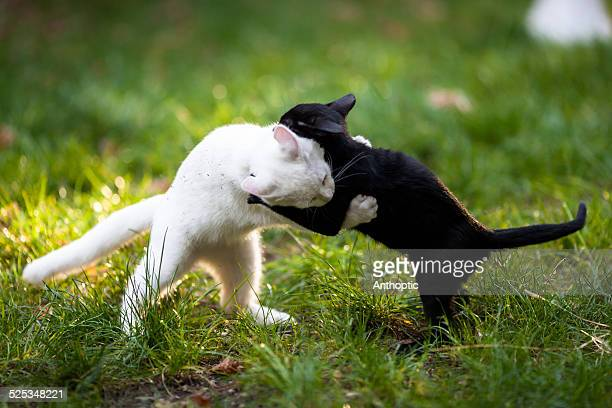 Yin Yang cat fight