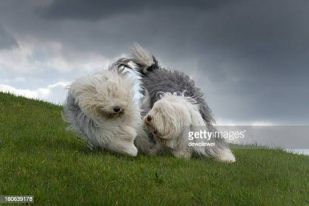yin yang - old english sheepdog stock pictures, royalty-free photos & images