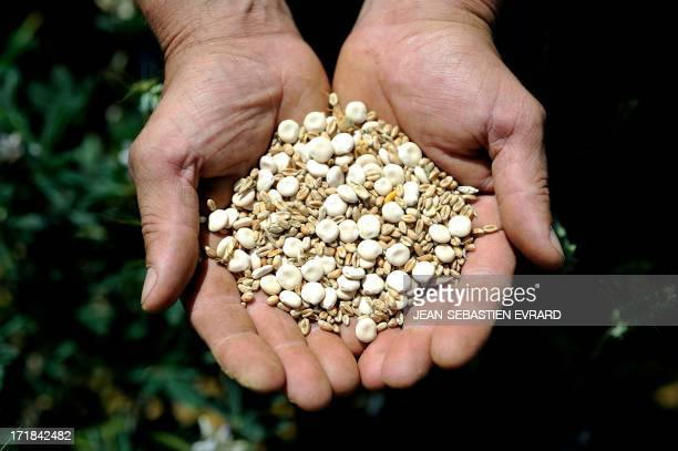 Yoann Goubaud farmer in the commune of Couffe western France holds Lupin beans and wheat grain on June 14 in Couffe Terrena a leading French...