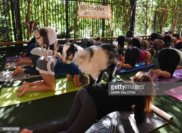TOPSHOT Yoga students take a class with Nigerian Dwarf goats held by the 'Hello Critter Goat Yoga' team at the Golden Road Pub in Los Angeles...