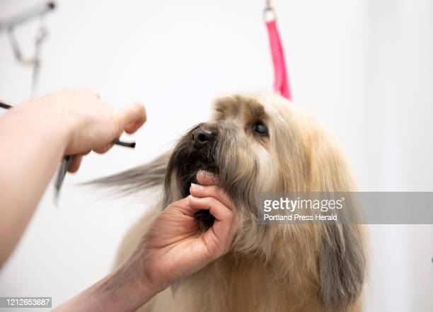 Yogi Bear a fullcoat Havanese is groomed by Jessica Gonyea at Maine Soggy Dog in Falmouth on Friday May 1 2020 Gonyea said that they received 127...