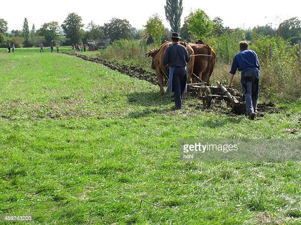 yoke of oxen - yoke stock photos and pictures