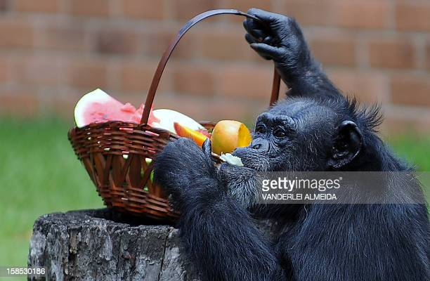 Yoko a female chimpanzee enjoys some fruits after receiving a Christmas hamper at Rio de Janeiro's zoo on December 18 2012 AFP PHOTO /VANDERLEI...