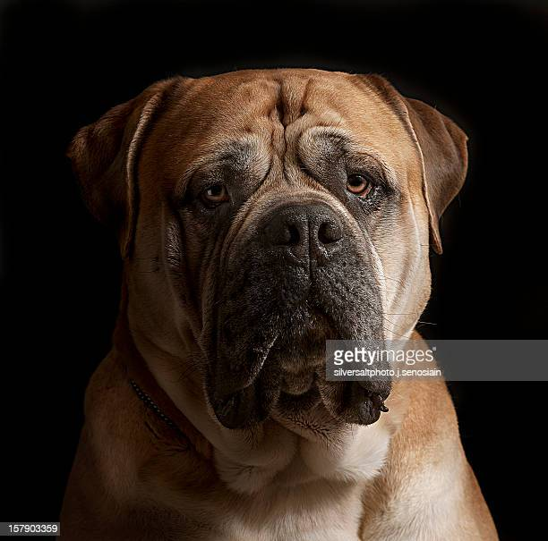 yoko2 - bull mastiff stock pictures, royalty-free photos & images