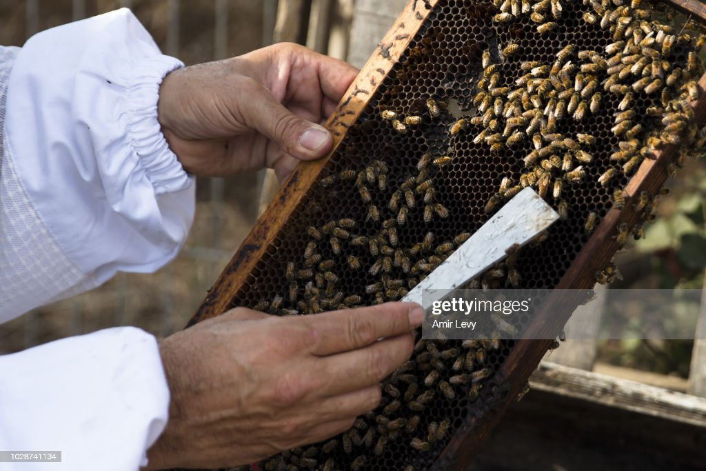 Yonatan Horesh collects honey from a honeycomb hive at his bee farm