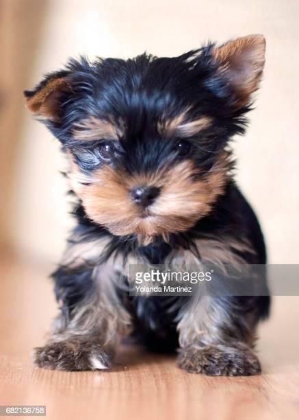 york shire terrier - perro de pura raza stock pictures, royalty-free photos & images