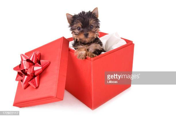 yorkie christmas (xl) - yorkshire terrier stock pictures, royalty-free photos & images