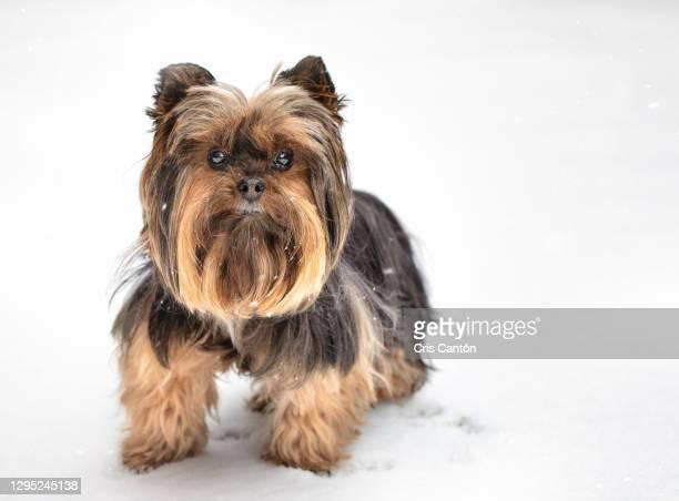 yorkie dog in the snow - cris cantón photography fotografías e imágenes de stock