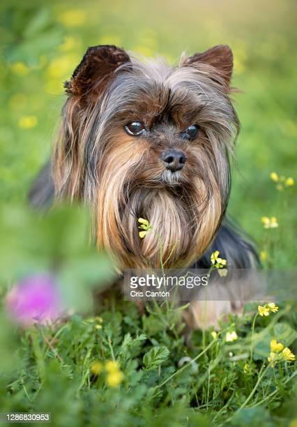 yorkie dog outdoors - cris cantón photography fotografías e imágenes de stock