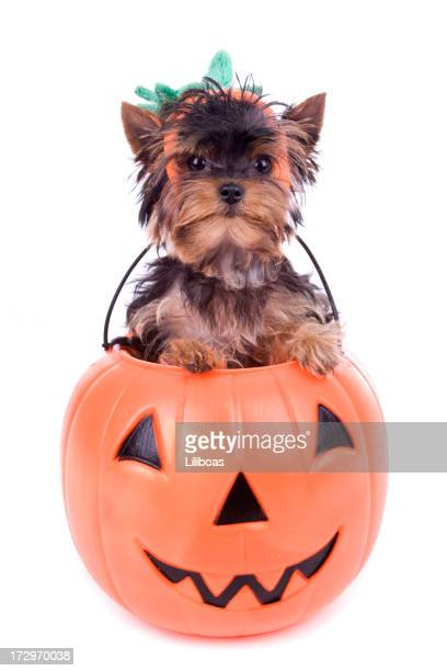 yorkie halloween (xxl) - pet clothing stock pictures, royalty-free photos & images