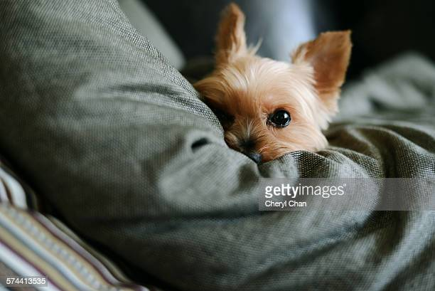 Yorkie in bed