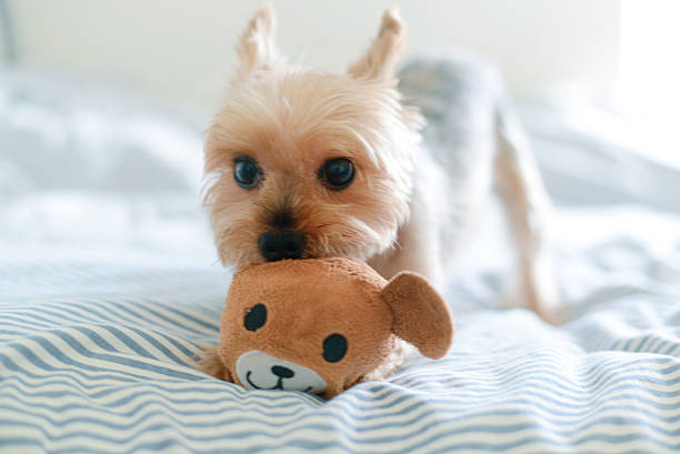Yorkie Playing With Teddy Toy Wall Art